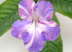 Streptocarpus `Bristol`s Party Boy`-лидер продаж!